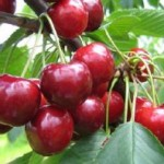 Čaj od peteljki trešnje-lekovitost trešnje