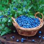 Trnina crni trn:lekovitost u plodovima,kori i cvetovima