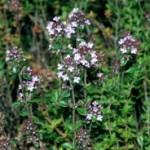 Biljka divlji bosiljak ili  timijan čaj