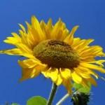 Suncokret: ulje i seme suncokreta za zdravlje