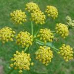 Biljka selen – miloduh