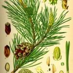 Lekoviti bor – upotreba za lečenje