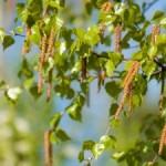Lekoviti izdanci i pupoljci: podbel ,troskot, breza, jela, topola, kesten