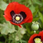 Mak biljka |lekovitost | seme