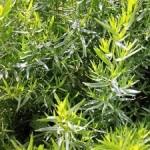 Biljka estragon – Zmajeva trava