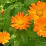 Neven biljka za kožu