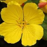 Žuti noćurak – lekovito delovanje – ulje – čaj