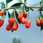 Goji bobice - činjenice koje morate znati