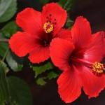 Cvet hibiskusa