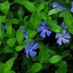 Zimzelen biljka