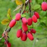 Žutika – kiseli trn (Berberis vulgaris)