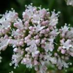 Lekovita biljka valerijana