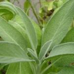 Žalfija i zdravlje – upotreba – uzgoj žalfije