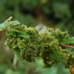 Seme koprive i med kao lek