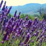 Biljka lavanda gajenje u saksiji i bašti, upotreba, kao lek