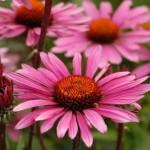 Biljka ehinacea za imunitet kao čaj i tinktura