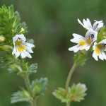 Vidova trava – Vidac čaj lekovitost
