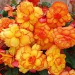 Begonija cveće uzgoj, nega, zalivanje, rezanje i razmnožavanje