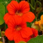 Dragoljub cveće uzgoj, održavanje, sadnja, upotreba za kosu