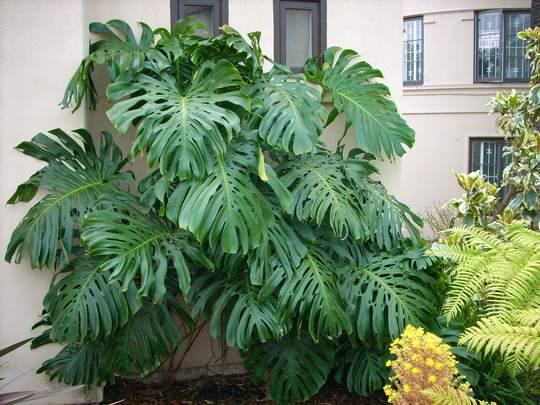 filadendron biljka