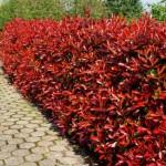 Fotinija vrste, uzgoj, orezivanje, sadnja…