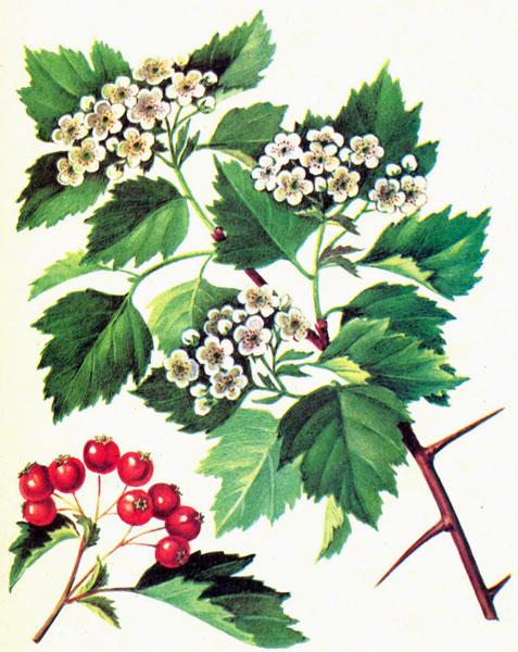 glogov cvet