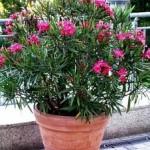 Oleander gajenje u bašti i saksiji, nega, bolesti, rezanje…