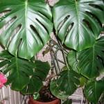 Filadendron uzgoj, nega, zalivanje, razmnožavanje