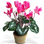 Cveće ciklama uzgoj u bašti i saksiji – Divlja ciklama