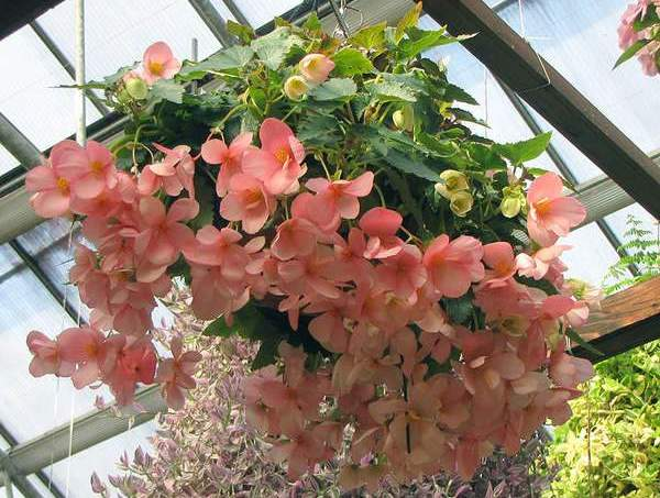 Begonija cveće uzgoj, nega, zalivanje, rezanje i razmnožavanje  Bašta
