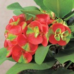 Isusov trn biljka Euphorbia milii uzgoj i održavanje