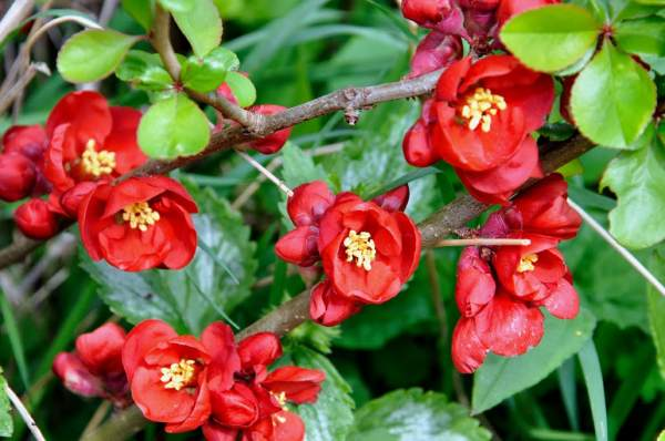 dunja japanska cvet