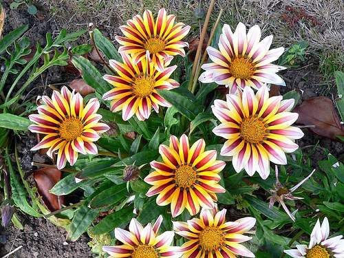 gazanija cvijece