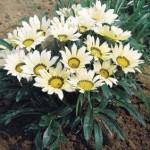 Gazanija cveće uzgoj