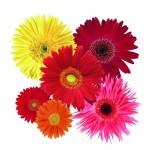 Gerber cvet uzgoj, sadnja, razmnožavanje