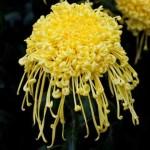 Hrizantema cvet simbol bezbrižnog života