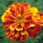 Kadifa cveće jednostavno za gajenje, održavanje i razmnožavanje