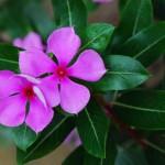 Vinka cvet sadnja, nega, zalivanje, razmnožavanje