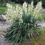Juka: jedna od najpopularnijih sobnih biljaka