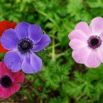 Anemona – čarobni cvet