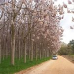 Paulovnija drvo koje brzo raste – uzgoj – sadnice