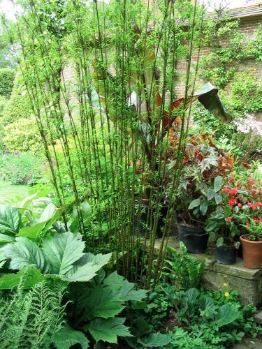 gajenje bambusa