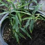Gajenje đumbira u saksiji i bašti
