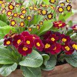 Jagorčevina cvet raskošnih boja