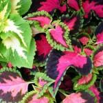Ukrasna koprivica (koleus) – cveće raskošnih boja