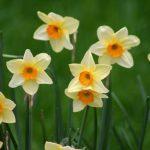 Narcis sadnja i gajenje u bašti i saksiji