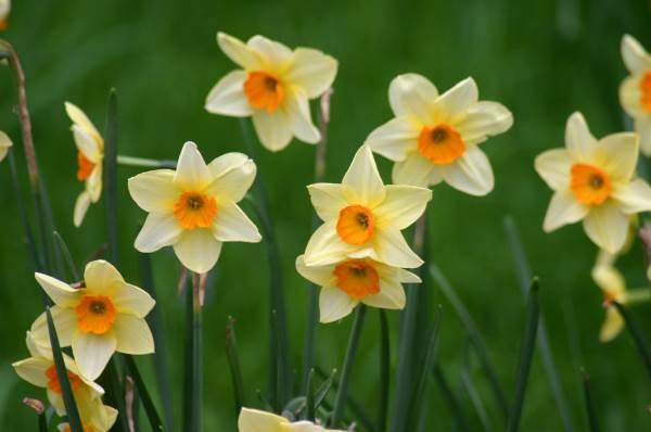 narcis cvet cvijet