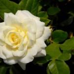 Uzgoj ruža u bašti i saksiji, zalivanje, rezanje, vrste…