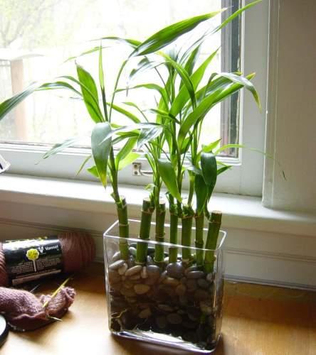 srecni bambus feng shui