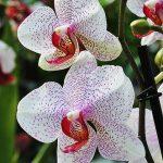 Zalivanje, nega i presađivanje orhideja